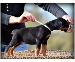 Newborn Doberman Pinscher Puppies